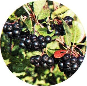 черноплодной рябины