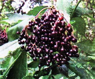 плоды бузины