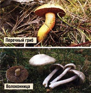 Перечный гриб