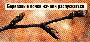 мазь из березовых почек