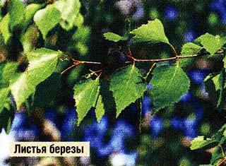 березовыми листьями