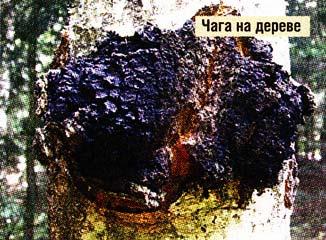 березового гриба