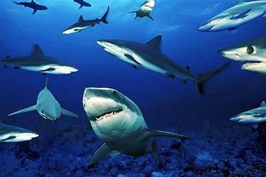 Печень акулы