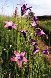 Цветки колокольчика