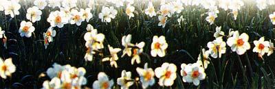 цветения нарциссов