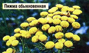 цветков пижмы обыкновенной