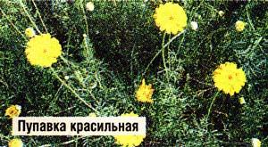 траву пупавки красильной