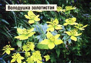 травы володушки золотистой
