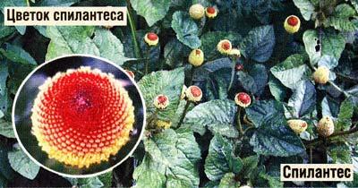 спилантес огородный