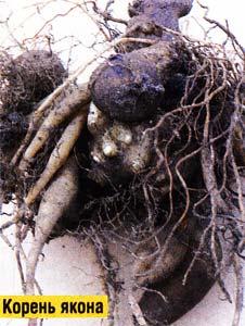 корневые клубни
