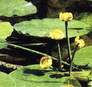 листьями кубышки желтой