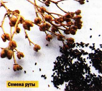 семена руты