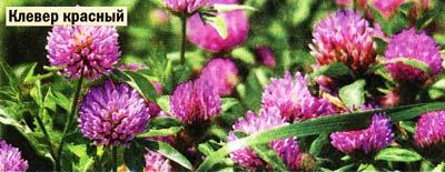 цветов клевера лугового