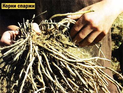 корней спаржи
